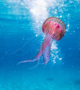 morso di medusa